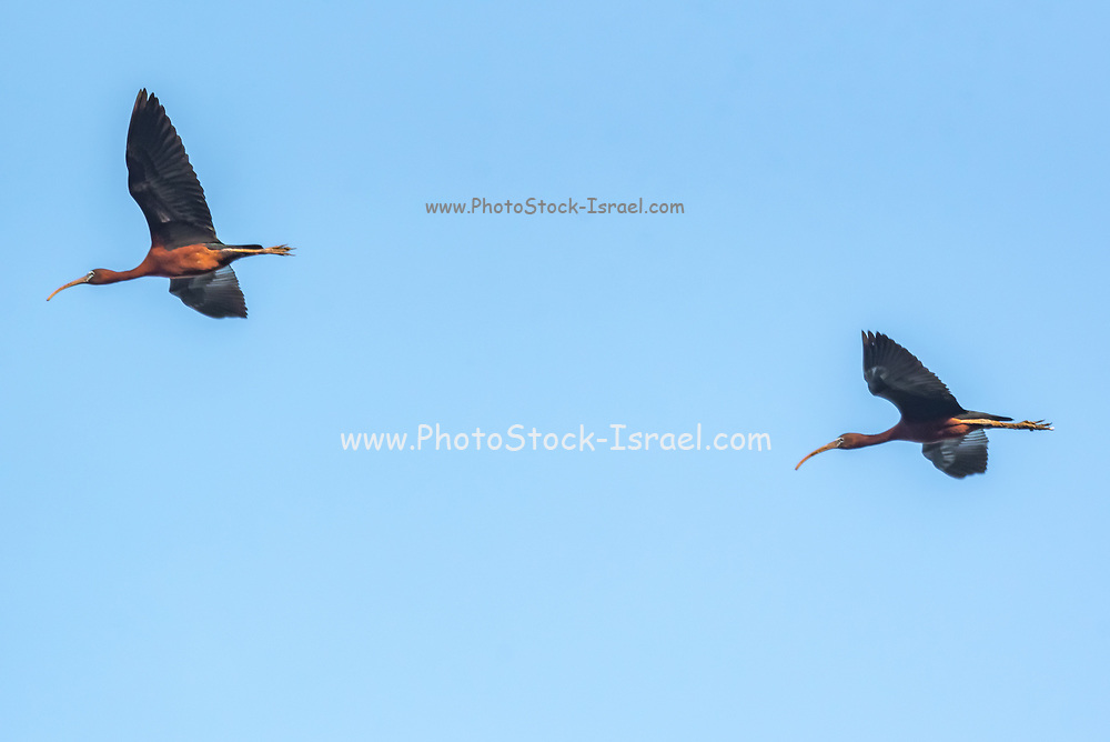 Northern bald ibis (Geronticus eremita) in flight with a blue sky background. Photographed in Israel, in August
