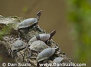 Northwestern Pond Turtle, Actinemys marmorata
