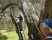 Trimming olive trees so it produces more olives this summer and therefore  more olive oil, the basis of the Mediterranean diet. In and around Meronas village, Central Crete.
