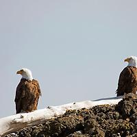 North America, Canada, British Columbia, Vancouver Island. Bald Eagle pair, Pacific Rim National Park.