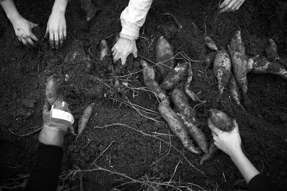 Farmers harvest sweet potatoes at Piedmont Biofarm during Crop Mob, a community-building exercise where people get together to work on a large-scale project on one farm.