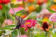 03006-00413 Zebra Swallowtail (Protographium marcellus) on Zinnia Union Co. IL