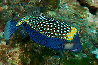 Spotted Boxfish (Ostraceon meleagris) male<br /><br />Rancheria Island<br />Coiba National Park<br />Panama<br /><br />Iglesias dive site