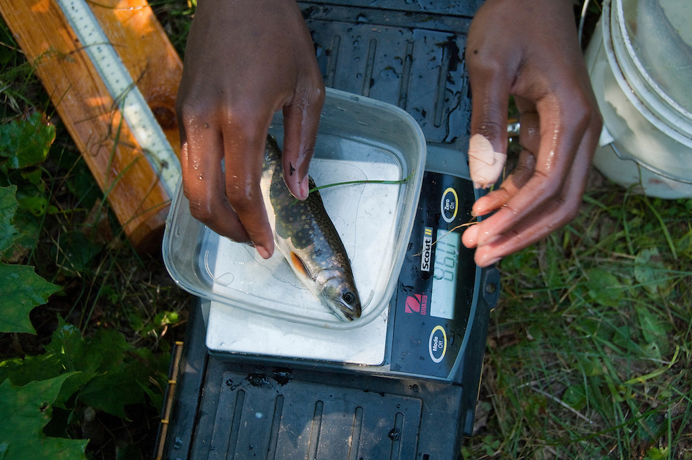 A researcher weighs a coaster brook trout in the Salmon Trout River near Big Bay Michigan.