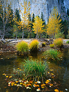 Grasses and Fall Leaves in the Merced River,Yosemite National Park, California