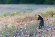 A red fox (Vulpes vulpes) looks over a field of tall grass in San Juan Island National Historical Park on San Juan Island, Washington, in soft evening light. Even though the fox appears black, all of the foxes in the park are technically red foxes, regardless of their color. Red foxes were introduced to San Juan Island on various occasions in the 1900s.