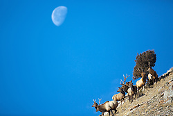 A herd of bull elk atop a butte in Jackson hole under a setting moon.