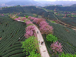 Visitors walk on a road under cherry blossom surrounded by tea garden in Yongfu Town of Zhangping City, southeast Chian's Fujian Province, March 15, 2016. Blooming cherry and fresh tea leaves there formed an attractive picture. EXPA Pictures © 2016, PhotoCredit: EXPA/ Photoshot/ Jiang Kehong<br /> <br /> *****ATTENTION - for AUT, SLO, CRO, SRB, BIH, MAZ, SUI only*****