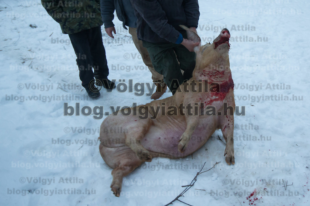 Butcher moves the pig killed during a Pig killing in Hungary and meat processing event in Pomaz (about 20 kilometres North of capital city Budapest), Hungary on January 28, 2017. ATTILA VOLGYI