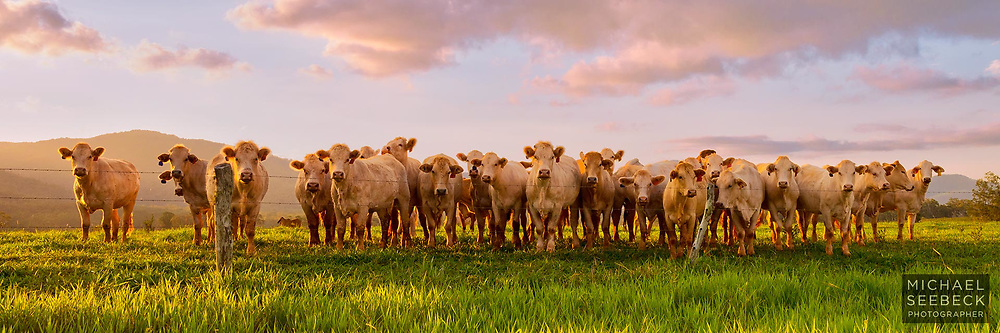 Late afternoon sunlight illuminates cattle in the Atherton Tablelands.<br /> <br /> Open Edition Print and available as a stock image.