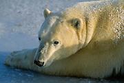 Polar bear lying in ice