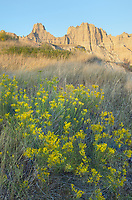 Rabbitbrush, Badlands National Park South Dakota