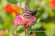 03006-00402 Zebra Swallowtail (Protographium marcellus) on Zinnia Union Co. IL