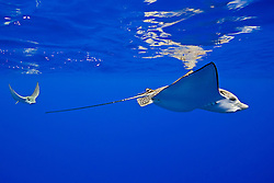 a pair of spotted eagle rays, Aetobatus narinari, pregnant female and mate, Kona Coast, Big Island, Hawaii, USA, Pacific Ocean