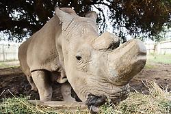 NANYUKI, April 18, 2015  Sudan, the last male northern white rhino, feeds himself inside its enclosure at Ol Pejeta Conservancy in Nanyuki, Kenya, April 18, 2015. (Xinhua/Sun Ruibo) (Credit Image: © Xinhua via ZUMA Wire)