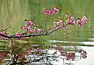 Cherry Blossoms, Branch, Brooklyn Botanic Garden,  Japanese Hill and Pond Garden, Brooklyn, New York, USA