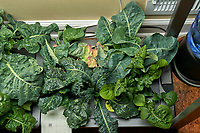 AeroGarden Farm 03 Right Tray at 28 days. R01-R03 Cauliflower; R07-R09 Kale; R10-R12 Cilantro;  Image taken with a Leica TL-2 camera and 35 mm f/1.4 lens (ISO 640, 35 mm, f/11, 1/40 sec).
