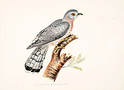 The Indian cuckoo (Cuculus micropterus) is a member of the cuckoo order of birds, the Cuculiformes, that is found in the Indian subcontinent and Southeast Asia. It ranges from India, Bangladesh, Bhutan, Nepal and Sri Lanka east to Indonesia and north to China and Russia. It is a solitary and shy bird, found in forests and open woodland at up to 3,600 m. 18th century watercolor painting by Elizabeth Gwillim. Lady Elizabeth Symonds Gwillim (21 April 1763 – 21 December 1807) was an artist married to Sir Henry Gwillim, Puisne Judge at the Madras high court until 1808. Lady Gwillim painted a series of about 200 watercolours of Indian birds. Produced about 20 years before John James Audubon, her work has been acclaimed for its accuracy and natural postures as they were drawn from observations of the birds in life. She also painted fishes and flowers.