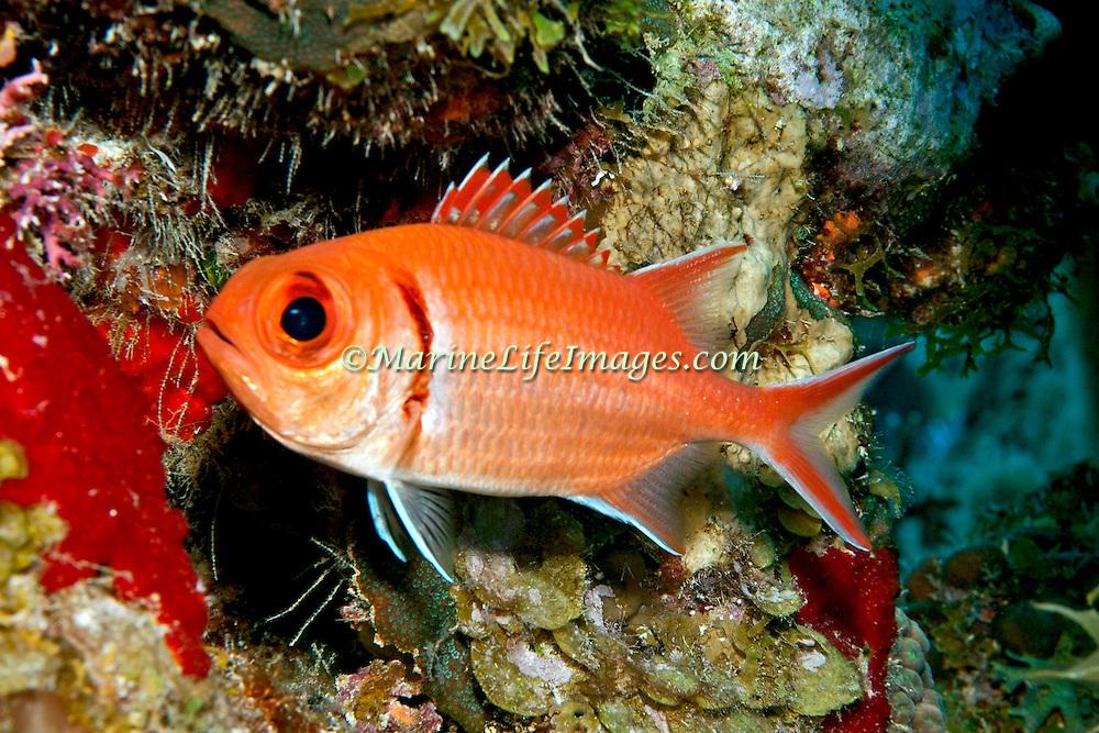 Blackbar Soldierfish inhabit reefs, commonly hide in dark recesses in large schools, in Tropical West Atlantic; picture taken Grand Turk.