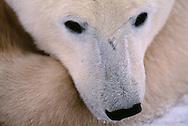 Polar Bear, Ursus maritimus, Churchill, Canada, Arctic