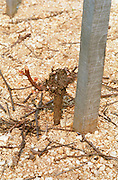 "The Disznoko winery in Tokaj: in the vineyard: a young vine spring pruned in ""gobelet"" style. The Disznók? winery is owned by AXA Millesimes, a French insurance company. Disznoko means pig's head since a big rock in the vineyard supposedly looks like that. The new winery is impressive and a vast amount of money has been invested. Credit Per Karlsson BKWine.com"