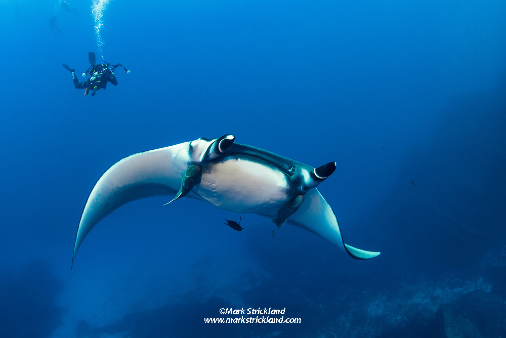 Underwater photographer Ty Oliver photographs a passing Giant Manta, Manta birostris, at San Benedicto Island, Revillagigedos,  Mexico, Pacific Ocean