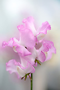 Lathyrus odoratus 'Gwendoline' - sweet pea
