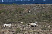 Wildlife in east Iceland. Reindeer and Grey goose.