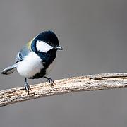 Japanese tit (Parus minor)