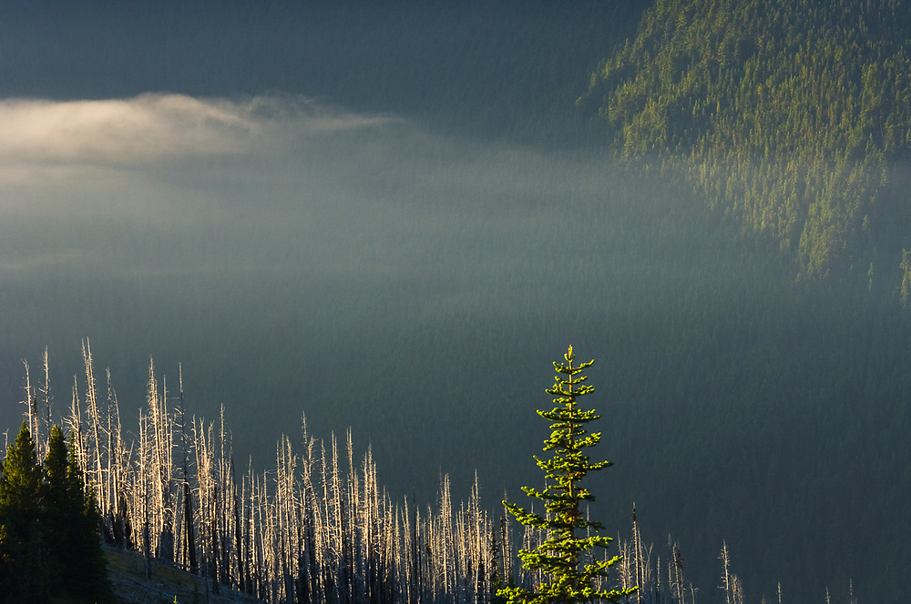 Forest fire damage, morning light, July, view from Deer Park, Olympic National Park, Clallam County,  Washington, USA