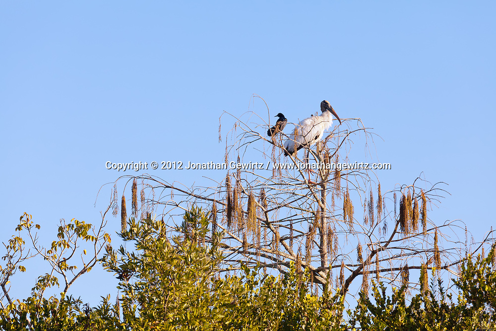 An American Crow (Corvus brachyrhynchos) and a Wood Stork (Mycteria americana) perch next to each other in a tree in the Shark Valley section of Everglades National Park, Florida. WATERMARKS WILL NOT APPEAR ON PRINTS OR LICENSED IMAGES.