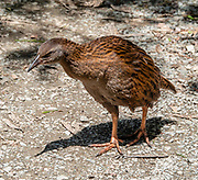 Endemic to New Zealand, the weka (Maori hen; woodhen; Gallirallus australis) is a flightless bird species of the rail family. Weka are sturdy brown birds, about the size of a chicken. As omnivores, they feed mainly on invertebrates and fruit. Weka usually lay eggs between August and January; both sexes help to incubate. Photographed at Pororari River Track in Paparoa National Park, between Westport and Greymouth in the West Coast region of New Zealand's South Island. The track follows an impressive limestone gorge along the river with big rocks set in deep pools, through strikingly beautiful forest subtly transitioning between subtropical and temperate ecozones. Pororari River flows northwest from its sources in the Paparoa Range to reach the Tasman Sea at Punakaiki. Stroll 1 km to a seat overlooking an attractive river bend. At about 3.5 km turn left at the Inland Pack Track to soon reach the swing bridge, a good turnaround point.