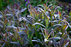 Young spring foliage of Peltaria alliacea. Shieldwort