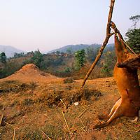 Deer for sale roadside, Muang Singh, Laos