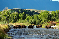 Bison, gros ventre river, Grand teton national park, Jackson, hole, wyoming,