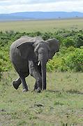 Kenya, Masai Mara, Young elephant charges at camera