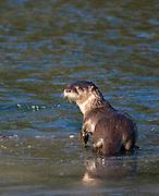 Alaska. Northern River Otter (Lontra canadensis) on river ice, Seward.