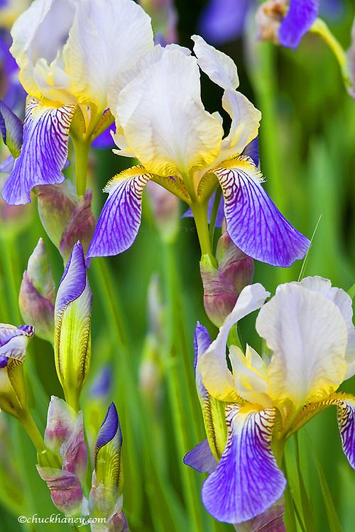 Iris flowers in full bloom in Whitefish Montana