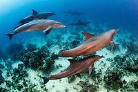 23/Noviembre/2015 Egipto. Sharm el-Sheij.<br /> Delfines nadando en una inmersión en el Mar Rojo.<br /> <br /> ©JOAN COSTA