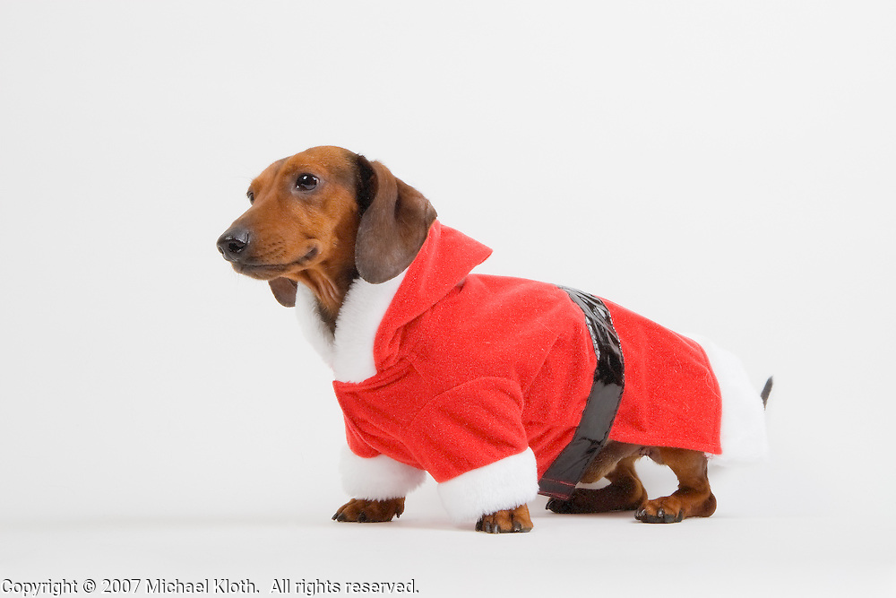 I think this might be the only doxie I've ever photographed for a rescue.  He was photographed at Woodford Humane Society.
