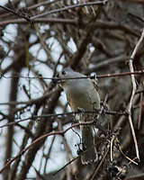 Tufted Titmouse (Baeolophus bicolor). Image taken with a Nikon D200 camera and 80-400 mm VR lens.