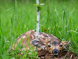 May 24, 2019 - Elkton, OREGON, U.S - A days old black tailed deer fawn lies motionless in an orchard on a farm near Elkton in rural western Oregon. The fawn is probably not lost. According to the National Wildlife Federation, in most cases, female deer hide their newborn fawns in tall grass or brush and move some distance away to feed to avoid drawing predators to their offspring. (Credit Image: © Robin Loznak/ZUMA Wire)