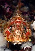A Red Irish Lord, Hemilepidotus hemilepidotus, rests among a bed of anemones in Browning Wall, Vancouver Island, British Columbia, Canada.