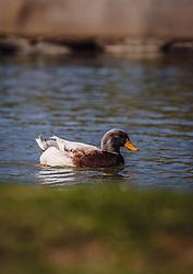 THEMENBILD - eine Ente schwimmt auf einer Wasseroberfläche, aufgenommen am 07. März 2019 in Aurach, Oesterreich // a duck swims on a surface of water, Austria on 2019/03/07. EXPA Pictures © 2019, PhotoCredit: EXPA/Stefanie Oberhauser