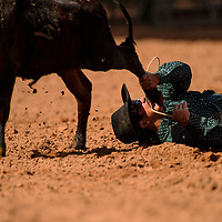 Chance Kipp fails to tackle his calf during the steer wrestling portion of the New Mexico High School Rodeo Association state finals on Saturday at Red Rock Park in Gallup.