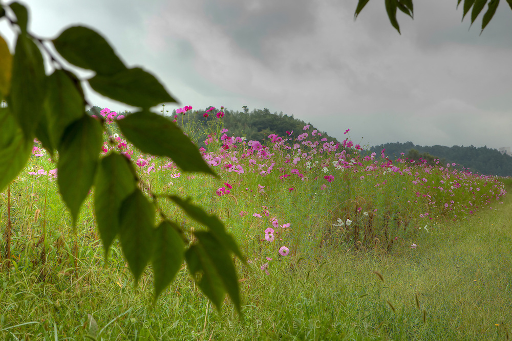 Clouds of cosmos brighten a cloudy day near Narit, Japan.