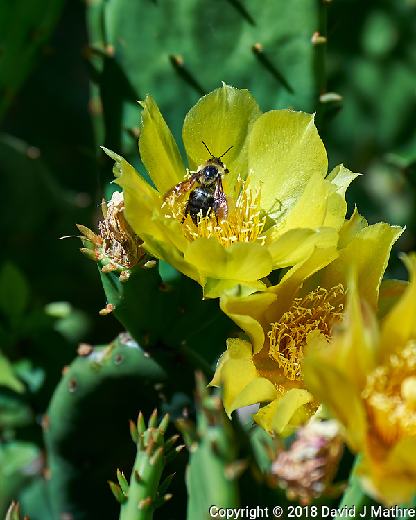 Bee in a Yellow Prickly Pear Flower. Image taken with a Nikon Df camera and 80-400 mm VR II lens.