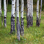 Quaking Aspen trees, Yellowstone National Park, Wyoming.