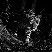 Female Indochinese leopard (Panthera pardus delacouri), also known as South-Chinese leopard.