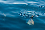 Ocean Sunfish (Mola mola)<br /> Off of Isabela Island<br /> GALAPAGOS ISLANDS<br /> ECUADOR.  South America<br /> Heaviest bony fish in the world.<br /> RANGE: Tropical waters around the globe.